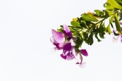 香豌豆花在白色背景隔绝的分支的灌木花 库存照片