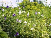 香豌豆花生长在有莳萝Anethum graveolens的一个庭院里的山黧豆属odoratus 免版税库存图片