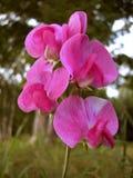 香豌豆花花,垂直 免版税库存照片