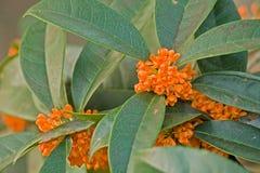 香郁木犀属植物特写镜头 库存照片