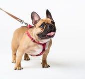 茴香 一米黄狗法国牛头犬白色,衣领 库存图片