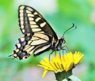 茴香Swallowtail蝴蝶 免版税图库摄影