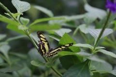茴香Swallowtail蝴蝶 图库摄影