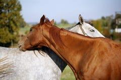 马一起在牧场 库存照片