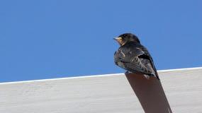 年轻马丁(Delichon urbicum), t一只迁移燕雀类鸟  库存图片