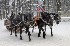马与passanger的拉扯雪橇 免版税库存图片