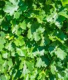 马乐白克葡萄藤叶子在葡萄园里 库存图片