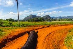 马乘驾在古巴 Vinales乡下 免版税库存照片
