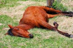 马休眠 库存照片