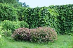 马兜铃属macrophylla和桃红色filipendula在夏天从事园艺 免版税库存照片