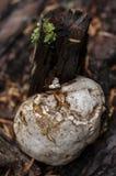 马勃菌真菌生长在一棵下落的树 库存照片