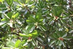 马卡达姆坚果树 图库摄影