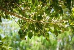 马卡达姆坚果树 免版税图库摄影