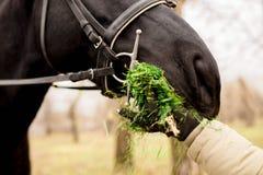 马吃从他的手的草 免版税库存照片