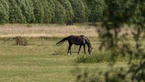 马吃草并且吃在一个绿色草甸的草农场的 免版税库存照片
