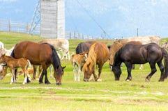 马和母牛的牧场地 图库摄影