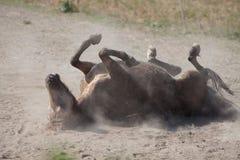 马和沙子 库存照片