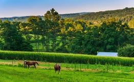 马和玉米田一个农场的在农村约克县, Pennsylvani 免版税库存照片