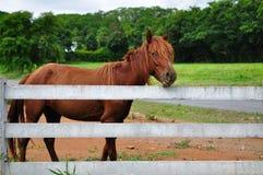 马和白色篱芭 库存照片