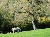 马和老树,乡下 免版税图库摄影