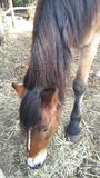 马和额发 免版税库存照片