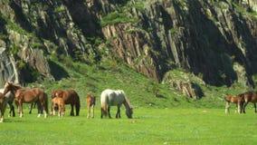 马和马在绿草走 大横向山山 股票视频