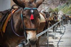 马和驴在圣托里尼海岛-传统运输上游人的 免版税库存照片