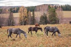 马和驴在领域吃草 库存照片
