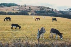 马和驴在领域吃草 免版税库存照片