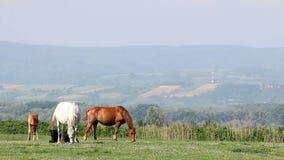 马和驹在牧场地 股票视频