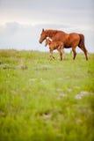 马和驹 库存图片