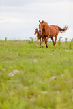 马和驹 图库摄影
