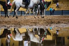 马和reflextion在一个水坑在equestriani期间会议  免版税库存图片
