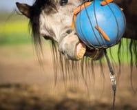 马咬住蓝色球用红萝卜 库存图片