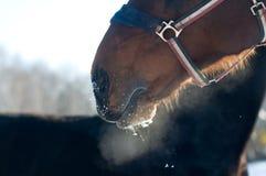 马喷鼻息特写镜头照片  免版税库存图片