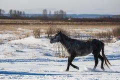 马在一个多雪的领域去 库存图片