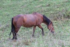 马在一个绿色草甸吃草 图库摄影