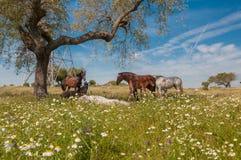 马在充分牧场地橡树 晴朗的春日在埃斯特雷马杜拉,西班牙 免版税库存图片