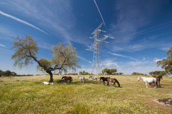 马在充分牧场地橡树 晴朗的春日在埃斯特雷马杜拉,西班牙 库存图片