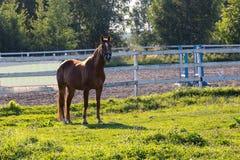 马在农场的小牧场 免版税库存图片
