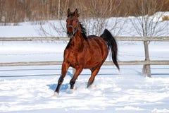 马在冬天 图库摄影