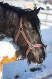 马在冬天 免版税图库摄影