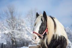 马在冬天 库存图片