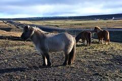 马在冰岛 库存照片