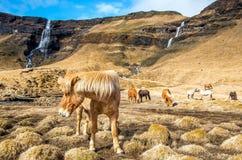 马在冰岛 库存图片