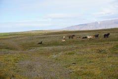 马在冰岛 免版税库存图片
