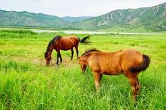 马在夏天大草原 库存图片