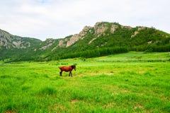 马在夏天草原 免版税库存图片