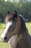 马在夏天草甸 库存照片