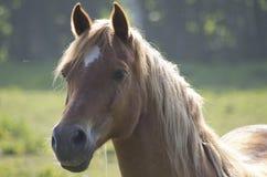 马在夏天草甸 图库摄影